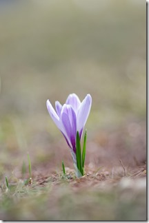 finally, crocus are coming